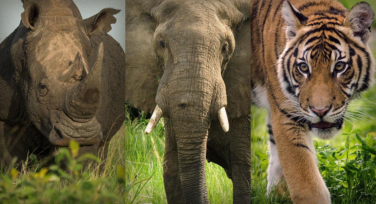 Rhino, Elephant, and Tiger