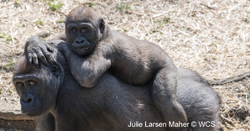 Baby gorilla riding on parent's back.
